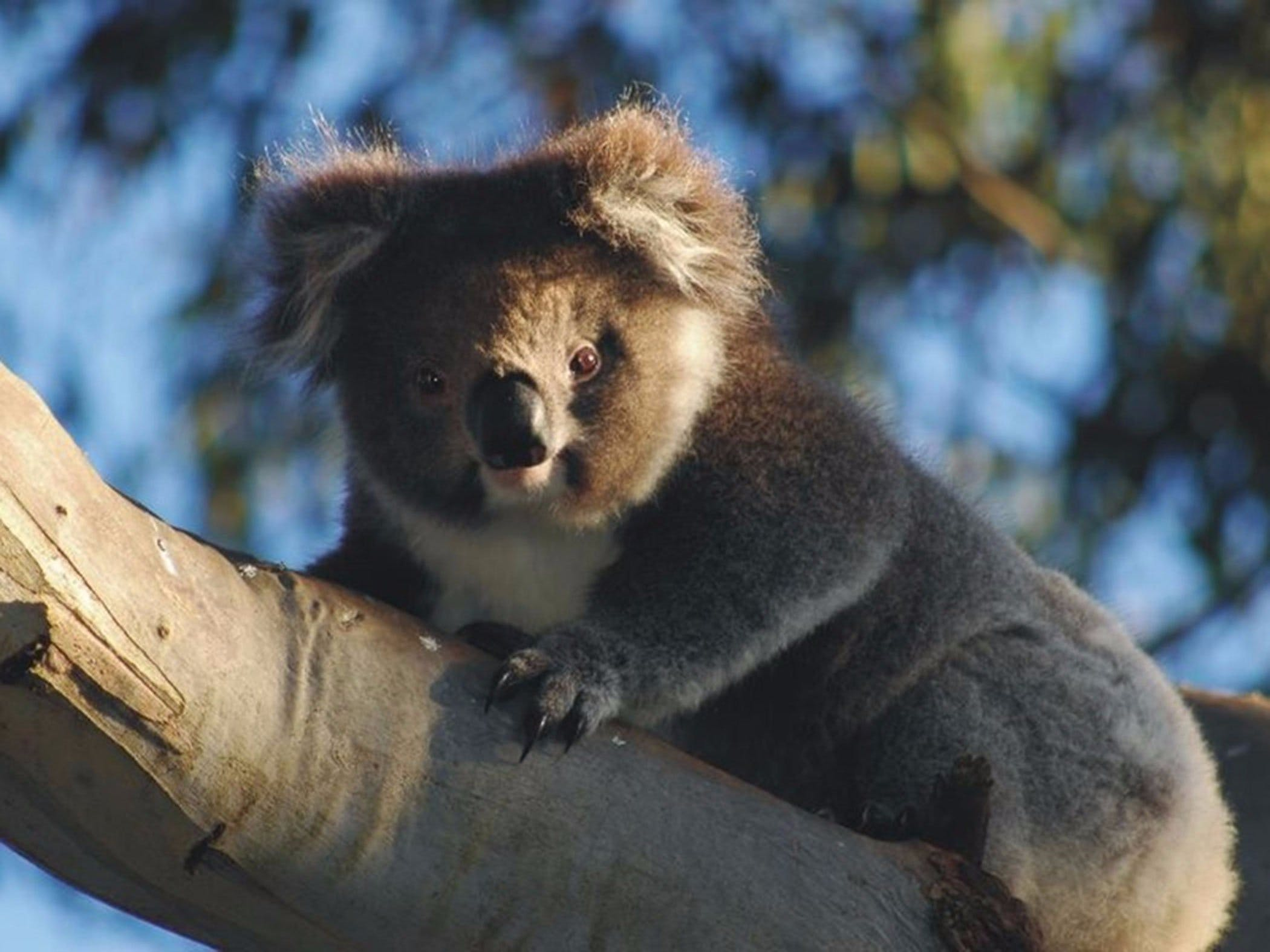 Bimbi Park Camping Under Koalas - Tourism Cairns