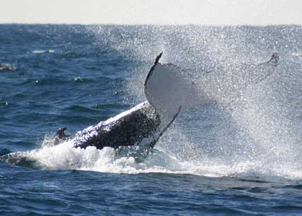 Whale Watching Sydney - Tourism Cairns