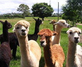 Banyandah Alpacas - Tourism Cairns