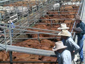 Dalrymple Sales Yards - Cattle Sales - Tourism Cairns