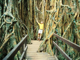 Curtain Fig Tree - Tourism Cairns