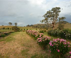 Damasque Rose Oil Farm - Tourism Cairns