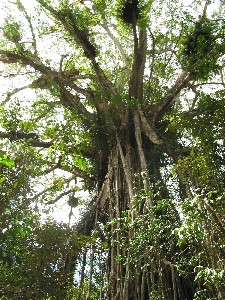 Cathedral Fig Tree - Tourism Cairns