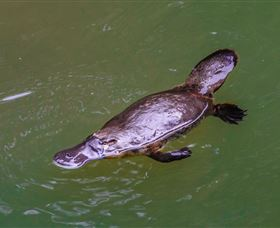 Platypus Viewing at Broken River - Tourism Cairns