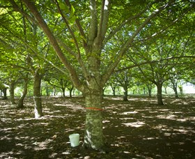 Sassafras Nuts - Tourism Cairns