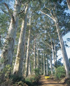 The Great Forest Trees Drive - Tourism Cairns