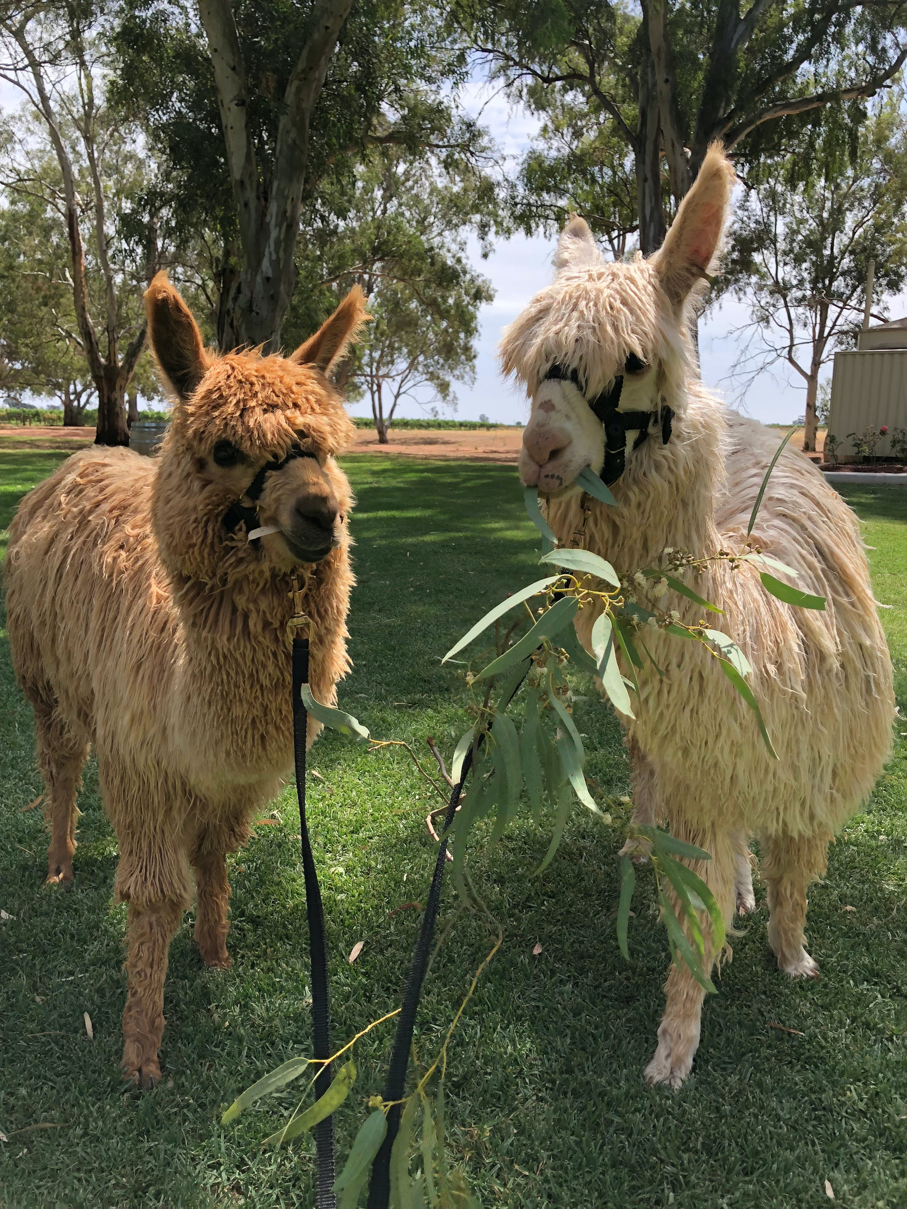 Visit an alpaca farm and get up and personal with these gentle and unique animals - Tourism Cairns