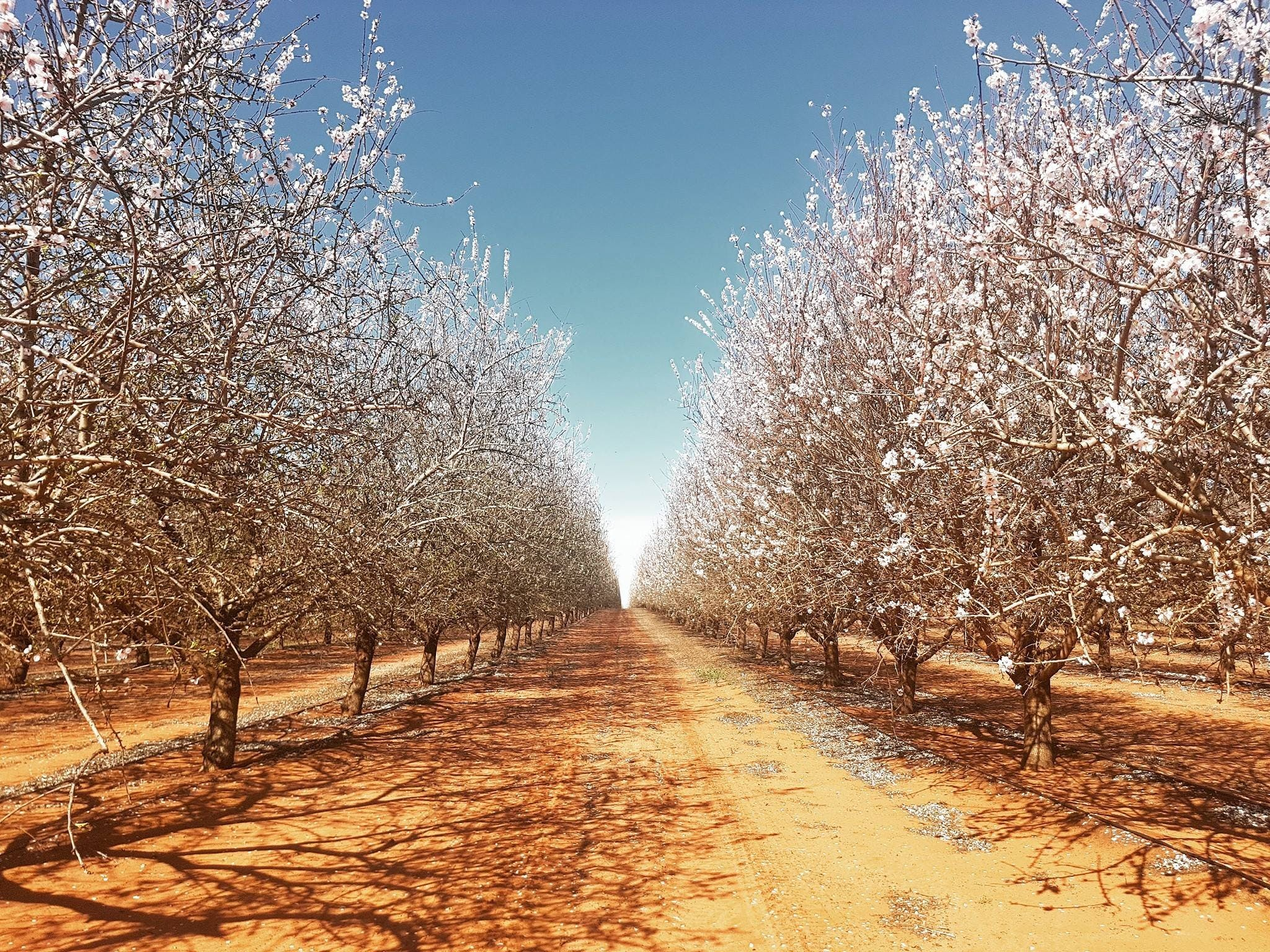 Mallee Almond Blossom Festival - Tourism Cairns