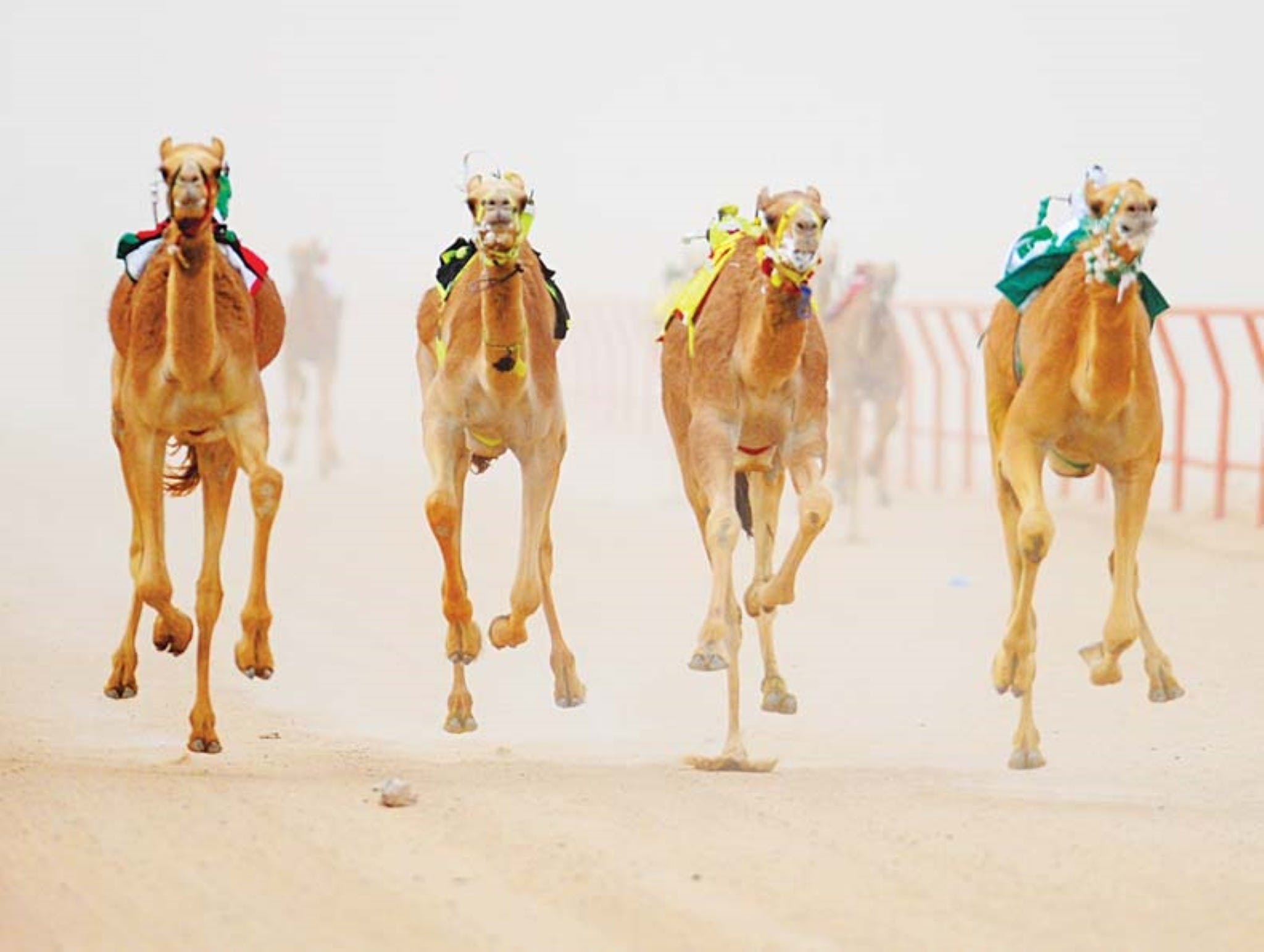 The Quirindi Camel Cup - Tourism Cairns