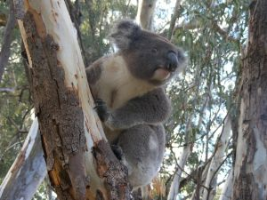 Annual Koala Count - Tourism Cairns